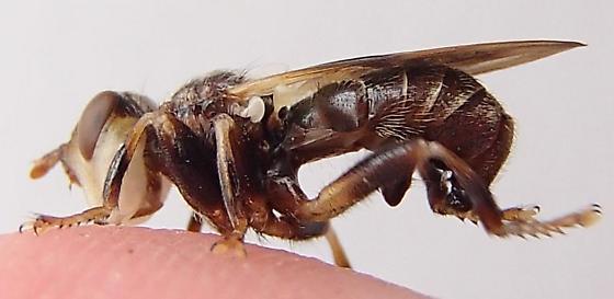 Fly - Myopa vesiculosa - female