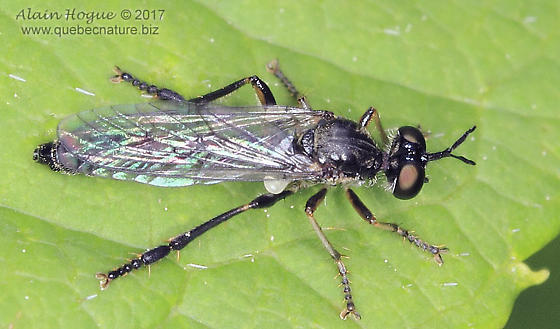Dioctria hyalipennis ?