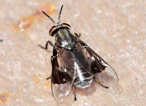 Deer Fly - Chrysops niger - female
