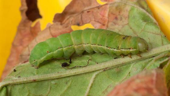 Caterpillar - Xylena nupera