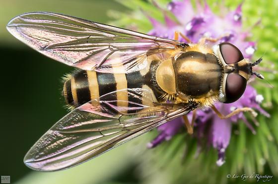 Diptera. Syrphidae. - Epistrophe grossulariae