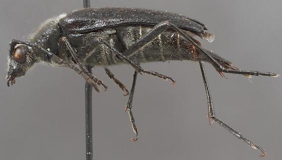 Leptura anthracina - Etorofus anthracinus
