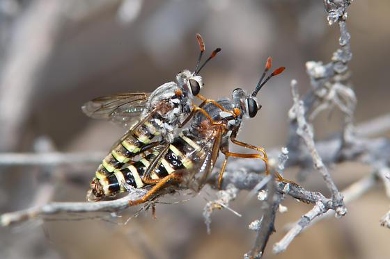 Mydidae? - Opomydas townsendi - male - female