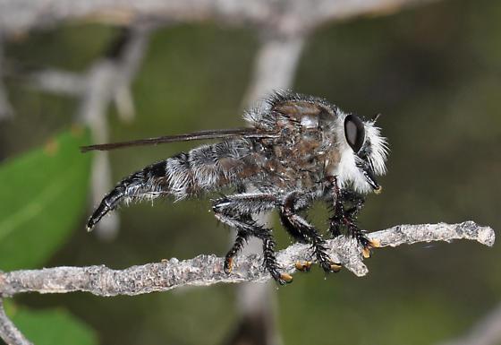 Promachus - Promachus atrox