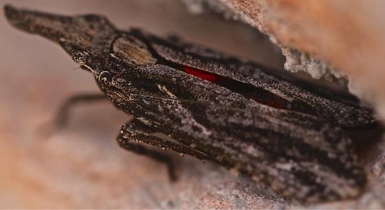 No idea - Amycle tumacacoriae