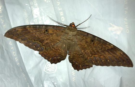 Black Witch Moth - BWM - Ascalapha odorata - male
