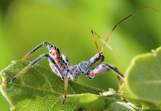 bug  - Arilus cristatus