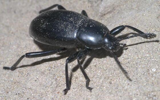 Black darkling beetle? (2) - Eleodes