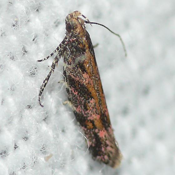 Moth 09.08.04 (2) - Aristotelia rubidella
