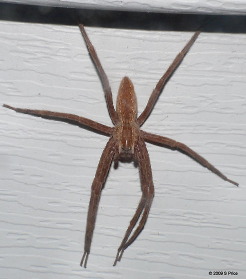 What kind of spider? - Pisaurina mira - female
