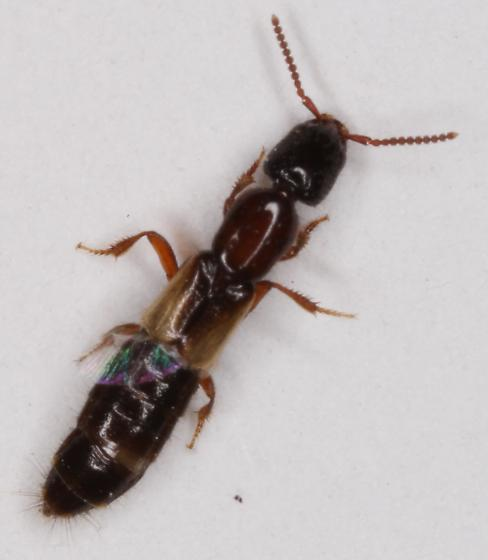 Staphylinidae - Phacophallus tricolor
