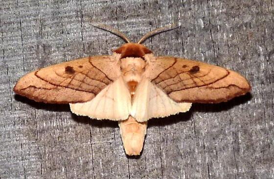 8/1/16 moth - Datana perspicua