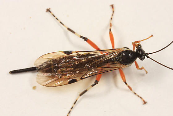 wasp - Itoplectis conquisitor - female