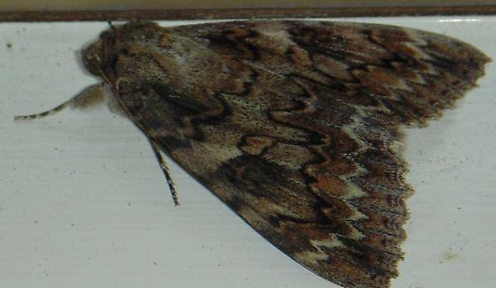 Underwing - Catocala irene