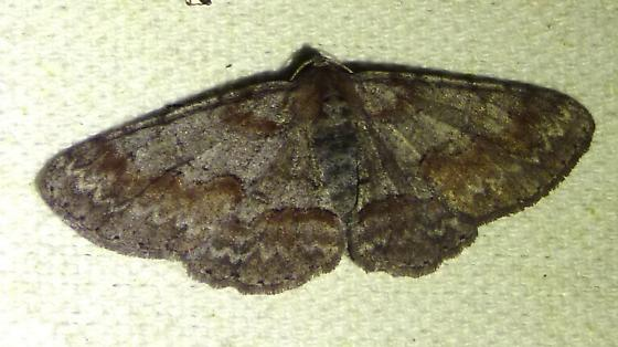 unknown moth - Iridopsis pergracilis