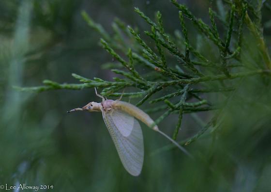 VCU mayfly 2 - Hexagenia