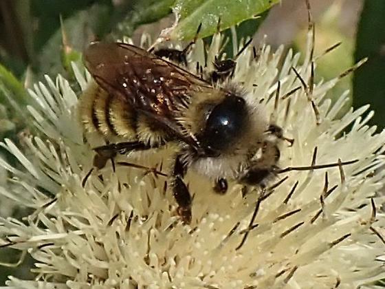 Long-horned bee (Eucerini)? - Bombus appositus