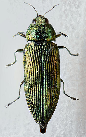 A thing of beauty - Buprestis langii - female