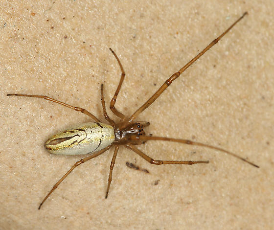 long-jawed orb weaver photo #3278 (not in tracker) - Tetragnatha laboriosa - female