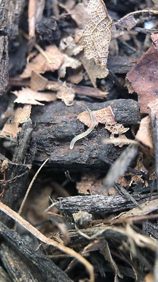 Nematode (beneficial or pest)?