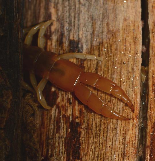 Theatops californiensis