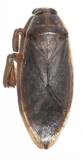 Possibly Lethocerus americanus - Benacus griseus