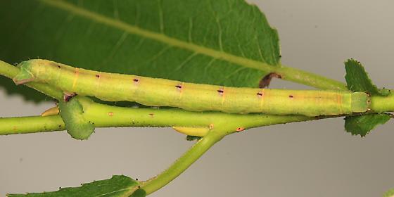 caterpillar - Cabera