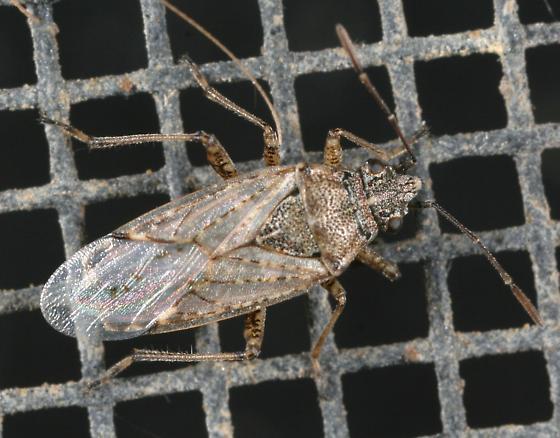 True Bug - Xyonysius californicus