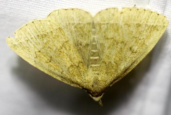 Litter moth - Zanclognatha