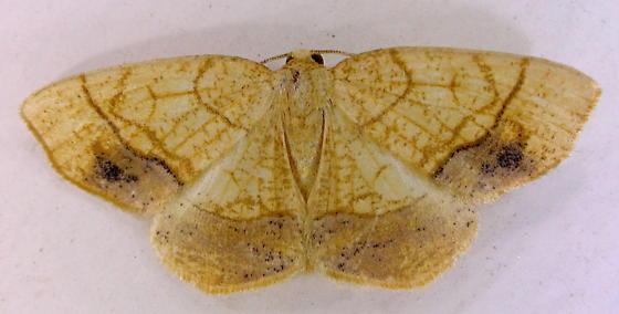 Horned Spanworm Moth - Nematocampa resistaria - male