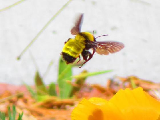 Yellow Bumblebee  flying over poppy flowers - Bombus sonorus