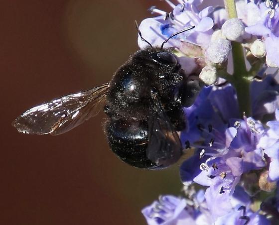 big black bee - Xylocopa tabaniformis - female