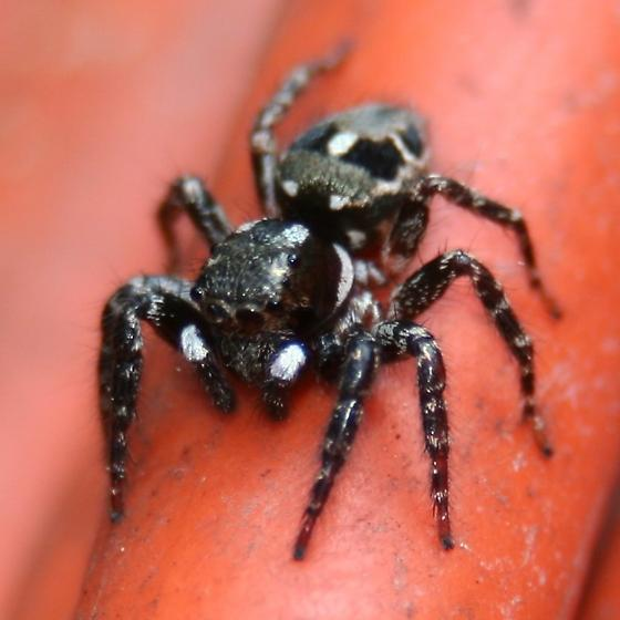 Spider - Twinflagged Jumping - Anterior Dorsal - Anasaitis canosa