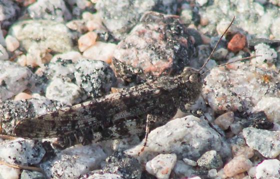 Mottled gray grasshopper - Trimerotropis verruculata - male