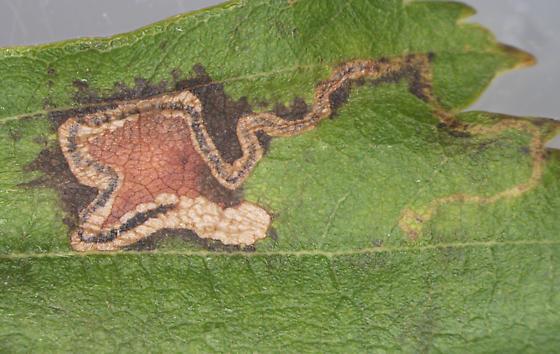 Nepticulidae, #2 mine on River Birch, front light - Stigmella corylifoliella