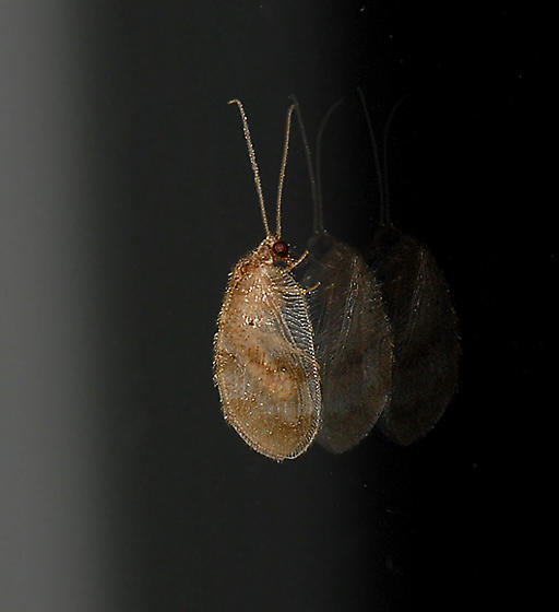 Brown Lacewing - Megalomus fidelis