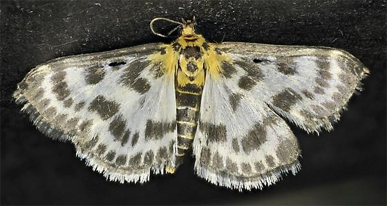 patterned moth - Anania hortulata