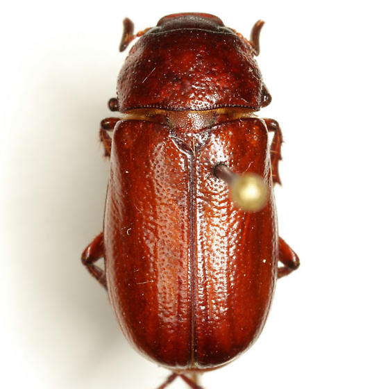 Phyllophaga rolstoni Riley & Wolfe - Phyllophaga rolstoni - male