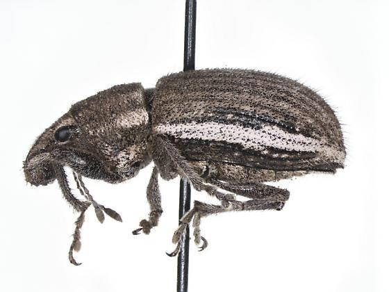 Naupactus leucoloma