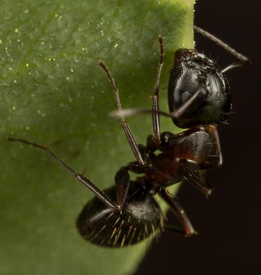 Camponotus sp. - Camponotus - female