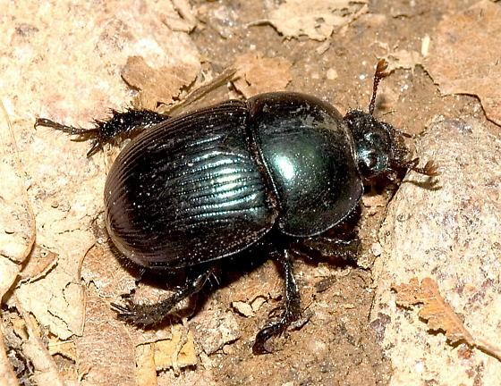 Dung Beetle - Geotrupes balyi