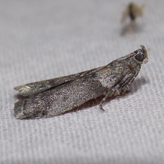 5789 Striped Sumac Leafroller - Sciota subfuscella
