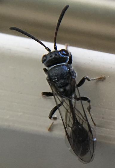 Possible aphid wasp?