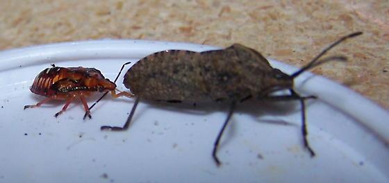Podisus maculiventris nymph feeding on Anasa tristis - Podisus maculiventris - female