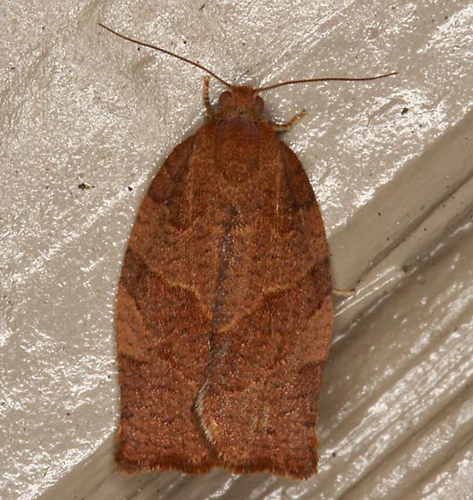 Tortricid Moth - Pandemis heparana