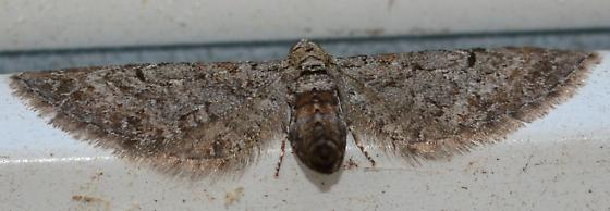 Small brown fringed moth - Eupithecia