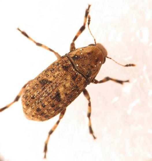 Weevil? - Euparius marmoreus