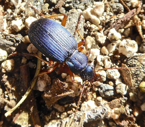Beetle - Chlaenius cumatilis