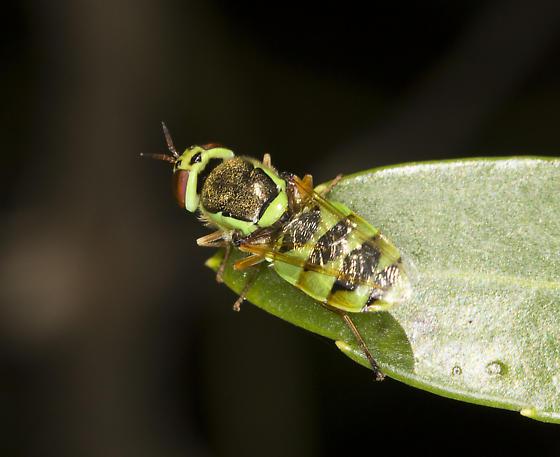 Spectacular fly on bee bush - Odontomyia cincta