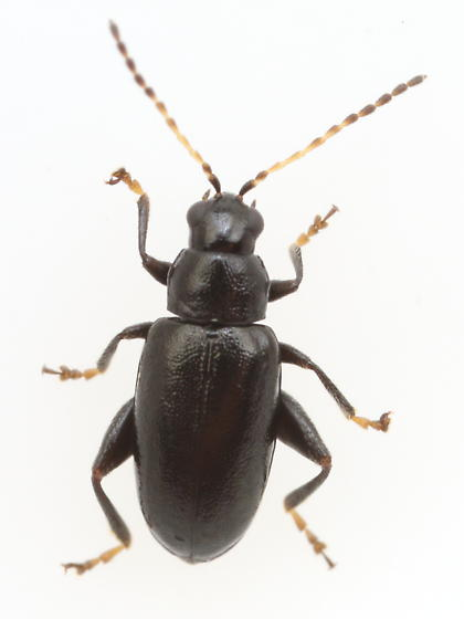 Flea beetle - Systena